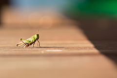 Grasshopper Left Justified Stock Photo