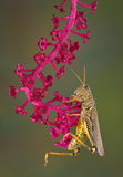 Grasshopper on pokeweed Royalty Free Stock Photography