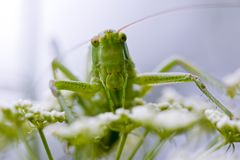 Grasshopper portrait Royalty Free Stock Photo