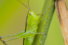 Grasshopper portrait Stock Photography