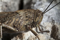 Grasshopper portrait. Grasshopper head in macro portrait royalty free stock photos