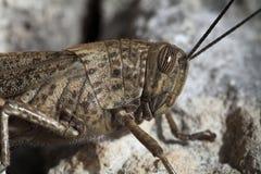 Grasshopper portrait Royalty Free Stock Photos