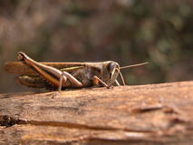 Grasshopper. Posing on a log of wood in the countryside Royalty Free Stock Photo