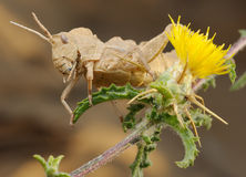 Grasshopper on prickly flower Royalty Free Stock Photography