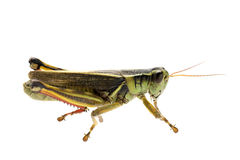 Grasshopper in profile Stock Images