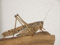 Grasshopper in profile. Resting on tree trunk stock image