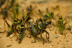 Grasshopper protects the group Stock Image