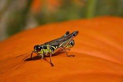 Grasshopper on a Pumpkin Stock Images