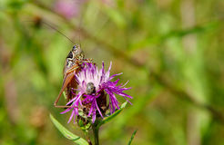 Grasshopper on purple thistle Stock Photography