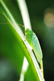 Grasshopper In The Rain. A photo taken on a large grasshopper after a rain Royalty Free Stock Images
