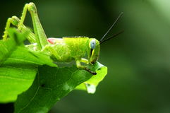 Grasshopper ready to jump Royalty Free Stock Photo