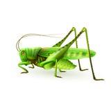 Grasshopper realistic isolated Stock Image