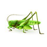 Grasshopper realistic isolated Stock Image