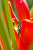 Grasshopper on red Heliconia Stock Image