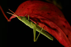 Grasshopper on Red Leaf. Green Grasshopper, clinging to a red leaf royalty free stock photos