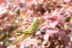 Grasshopper on red leaves Royalty Free Stock Image
