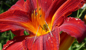 Grasshopper in a red lily Stock Photo