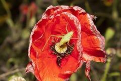 Grasshopper on red poppy flower Stock Images