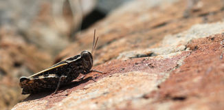 A grasshopper on red rock in mountains Stock Photos
