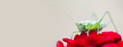 Grasshopper on red rose flower petal. Close-up photo Great Green Bush-Cricket Tettigonia viridissima. insect macro view. Shallow depth of field, copy space Stock Photo