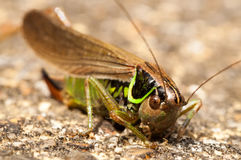 Grasshopper. Relaxing on a paved surface Royalty Free Stock Photo