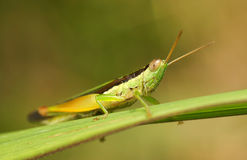 Grasshopper resting on the grass Royalty Free Stock Images