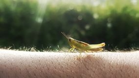 The grasshopper is resting on the human skin like the grass. Amazing grasshopper jump and rest on the human skin royalty free stock image