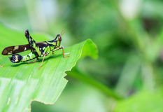 Grasshopper resting inside a leaf. Stock Photography