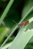 The grasshopper Stock Photos
