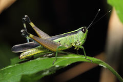 Grasshopper resting on leave Royalty Free Stock Photography
