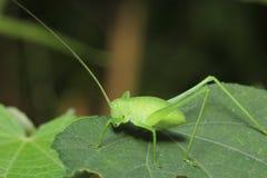 Grasshopper resting on leave Stock Images