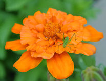 Grasshopper resting on a marigold flower. Detailed photograph of a marigold bush with flowers and buds Stock Photo