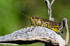 Grasshopper Resting on Milkweed Pod Royalty Free Stock Photos