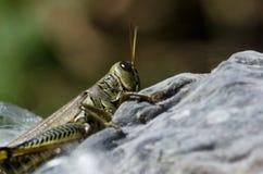 Grasshopper Resting on Milkweed Pod Royalty Free Stock Photos