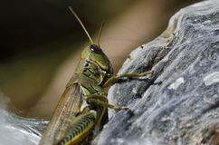 Grasshopper Resting on Milkweed Pod Stock Photo