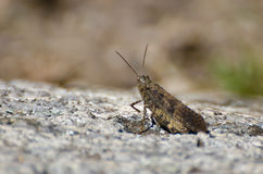 Grasshopper Resting on a Rock Stock Images