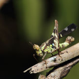Grasshopper resting on a stick Royalty Free Stock Image
