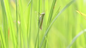Grasshopper in the rice field. Grasshoppers are eating rice in the farmer`s field stock video footage