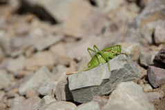 Grasshopper on Rock. Grasshopper sitting on rock slide along trail in Glacier National Park Stock Images