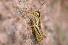 Grasshopper on a rock Stock Photography