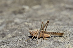Grasshopper on rock Stock Images