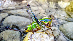 Grasshopper on a rock Stock Photos