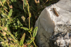 Grasshopper on rock Stock Photos