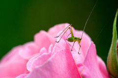 Grasshopper on a rose. Little grasshopper lurking on a pink rose Stock Photo