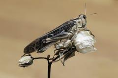 Grasshopper Rose sucks off Royalty Free Stock Image