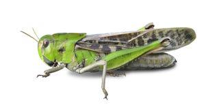 Grasshopper's Royalty Free Stock Image