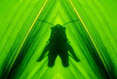 Grasshoppers abstract shadow Royalty Free Stock Image