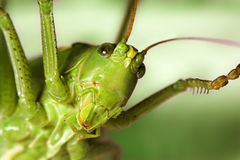 Grasshopper's face royalty free stock images