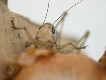 Grasshopper`s head. In close up stock image