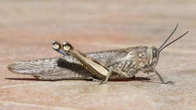 A grasshopper`s profile on tiles stock photo